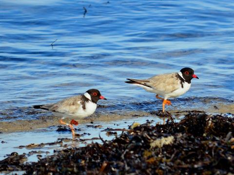 High hopes for hooded plover season